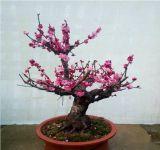 盆栽紅梅如何養護